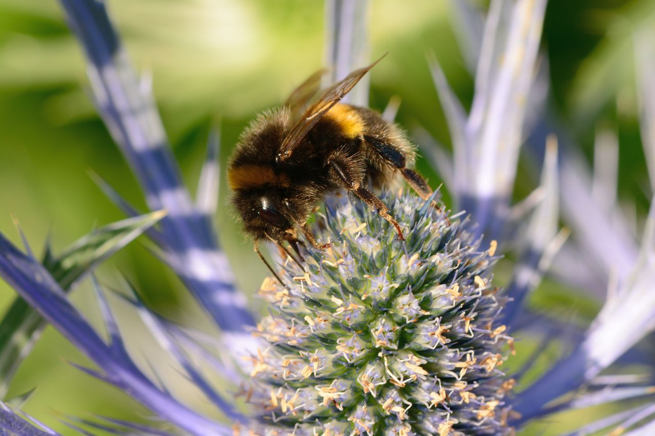 Beauty In Nature Bee Blooming Blue Thistle Bumblebee Day Eryngium EyeEm Best Shots EyeEm Nature Lover Flower Flower Head Flowers Focus On Foreground Freshness Growth Insect Macro Nature Nature Photography Nature_collection No People Outdoors Pollination Selective Focus Taking Photos
