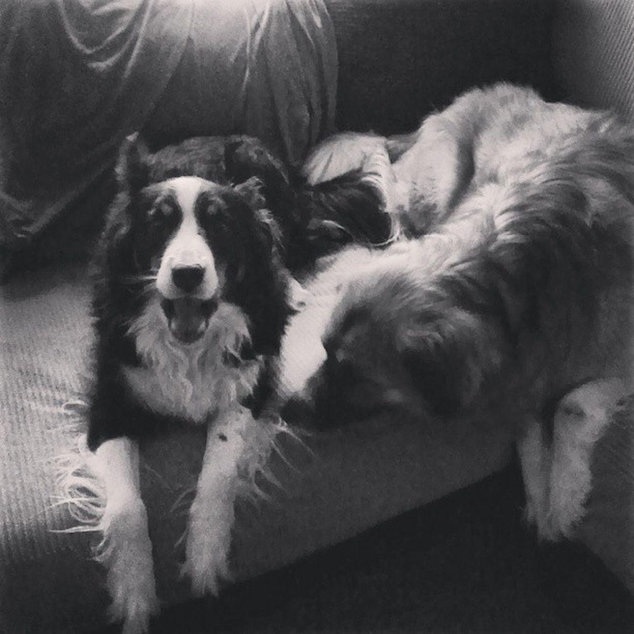 Dogsofinstagram Furkids Bordercollie  Lucy. Saintbernard husky Sasha. sissy sisters mybabies
