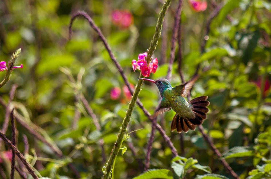 Beautiful stock photos of kolibri, Hummingbird, Mother Nature, Valencia, Venezuela
