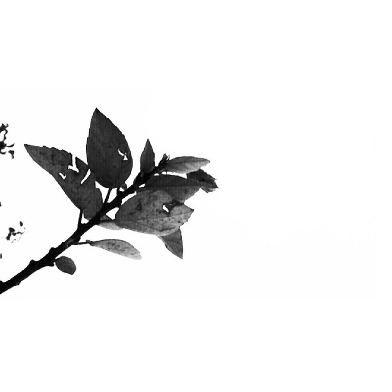 Tree Lookabove Lookingup Dry nature bwoftheday bw blackandwhite blackandwhiteonly bnw bnw_society bwstyles_gf blackandwhitephotography minimalism minimalobsession lessismore grow up monochrome israel_times_bw igersisrael photography pictureoftheday igminimal implus_daily statigram all_shots