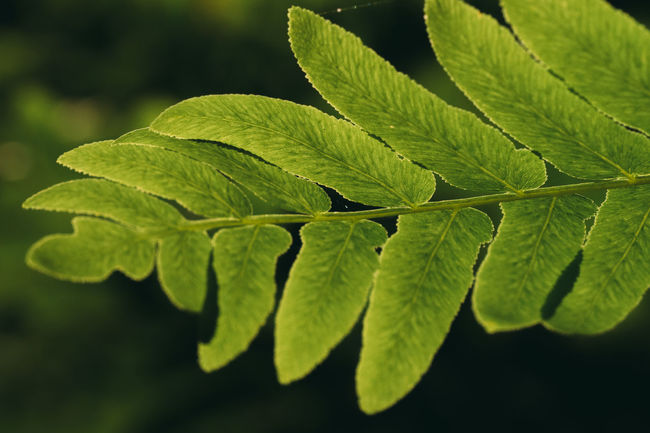 Against The Light Beauty In Nature Botany Close-up Contre-jour Contre-jour Shot Day Detail Focus On Foreground Green Green Color Growing Growth Leaf Leaf Vein Leaves Lush Foliage Natural Pattern Nature No People Outdoors Plant Tranquility Twig