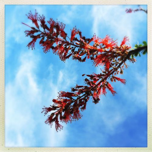 Ocotillo Blossoms. Ocotillo Cactus Ocotillo Desert Sonoran Desert Desert Beauty Deserts Around The World Nature_collection Nature Photography IPhoneography Red Flowerporn Flower Check This Out Taking Photos Natural Beauty Blooming Blue Wave Blue