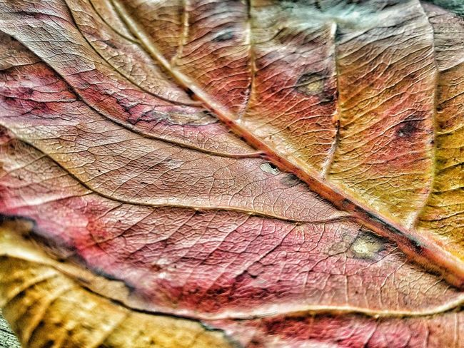 Africa does have fallen leaves...African Fall Leaf Natural Pattern Backgrounds Natural Condition Extreme Close-up Beauty In Nature Nature Africa Ghana Nature Textures Fall Beauty Fall Textures Textures In Nature