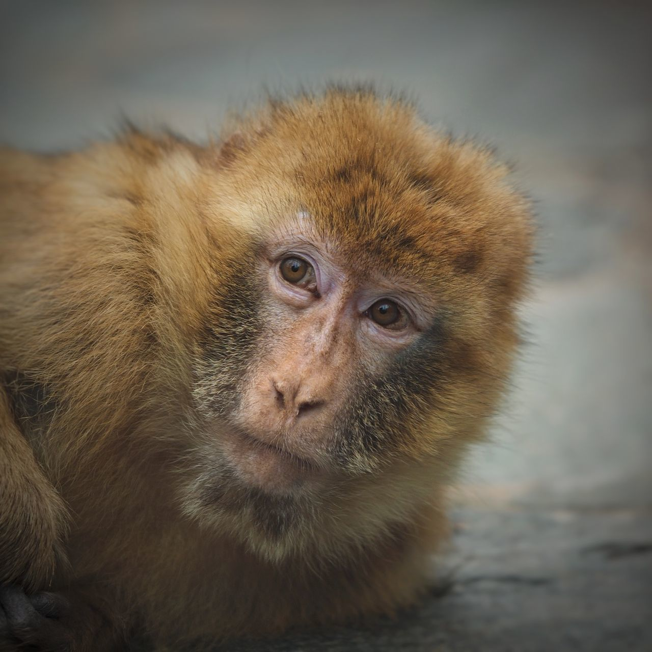 mammal, one animal, animal themes, looking at camera, animals in the wild, close-up, portrait, no people, monkey, animal wildlife, day, outdoors, nature, japanese macaque
