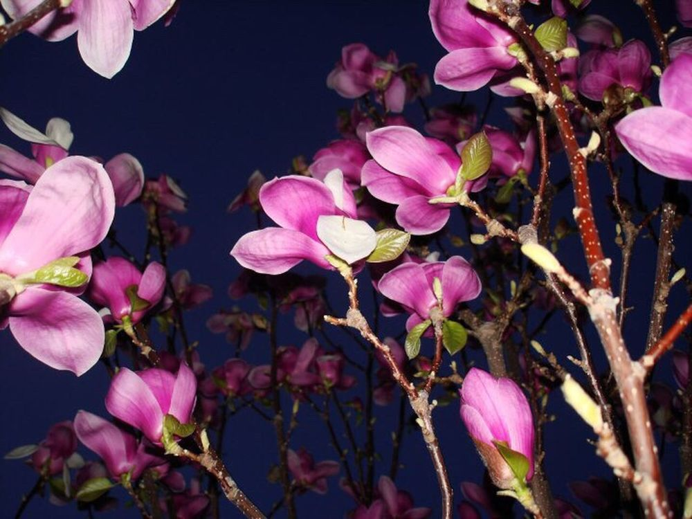 Flower Nature Petal Pink Color Growth Beauty In Nature Fragility Plant Freshness Outdoors No People Close-up Flower Head Day Saucer Magnolia Magnolia Magnolia Tree Magnolia_Blossom Tulip Magnolia Tulips🌷
