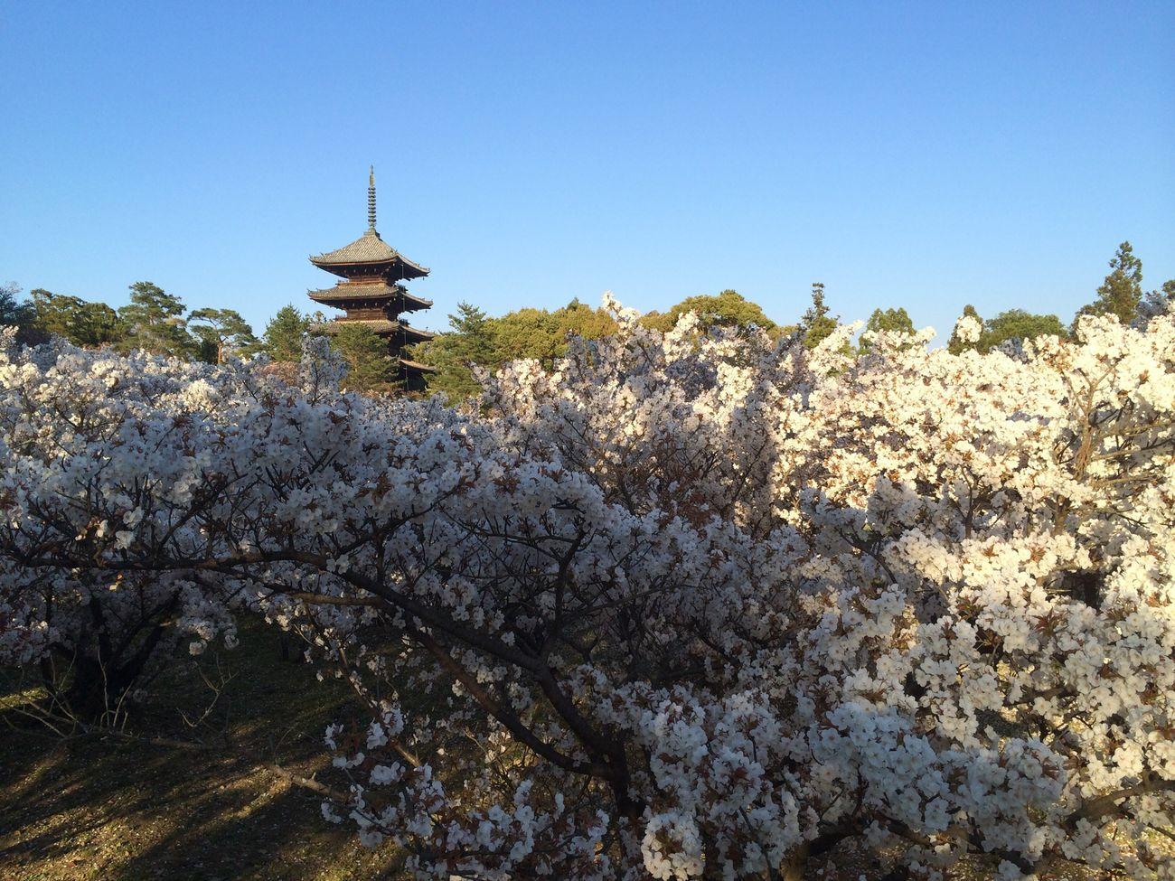 京都 仁和寺 御室桜 五重塔