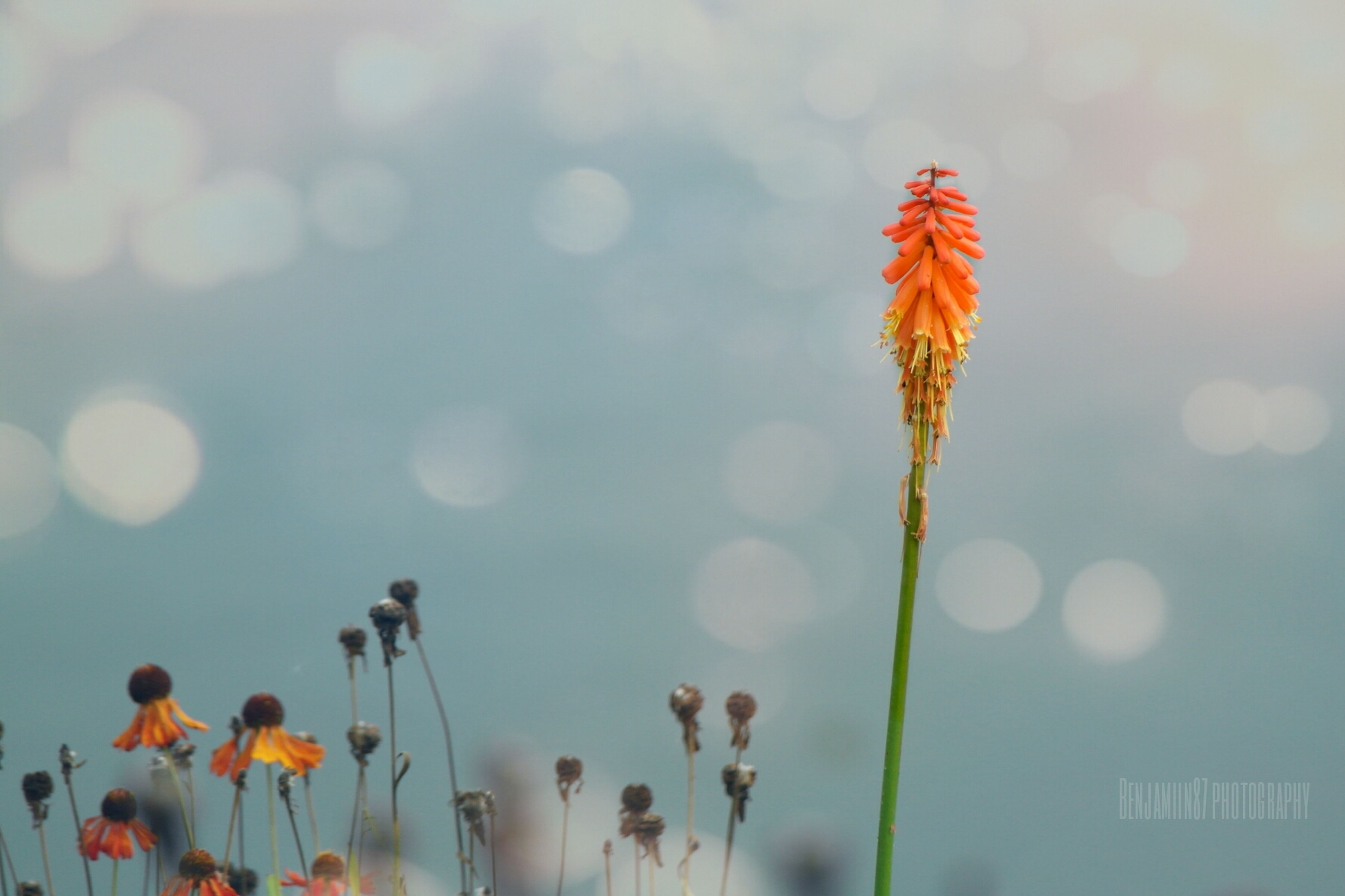flower, fragility, freshness, growth, beauty in nature, plant, focus on foreground, nature, petal, red, flower head, stem, field, blooming, sky, poppy, close-up, outdoors, low angle view, animal themes