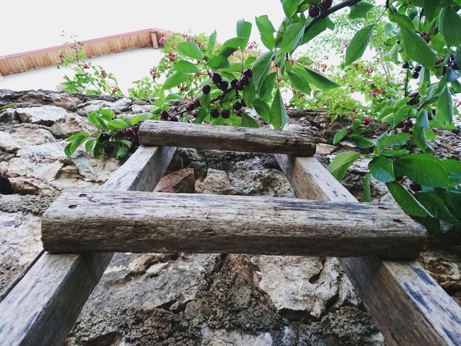Cherry Cherry Tree Stair Wall Stonewall Highlands Relaxing EyeEm Gallery Naturelovers Nature Photography Highland Taking Photos Nature Eyemphotography Eye4photography  EyeEm Nature Lover Instagood Instagramer Instadaily Likeforlike Like4like TBT