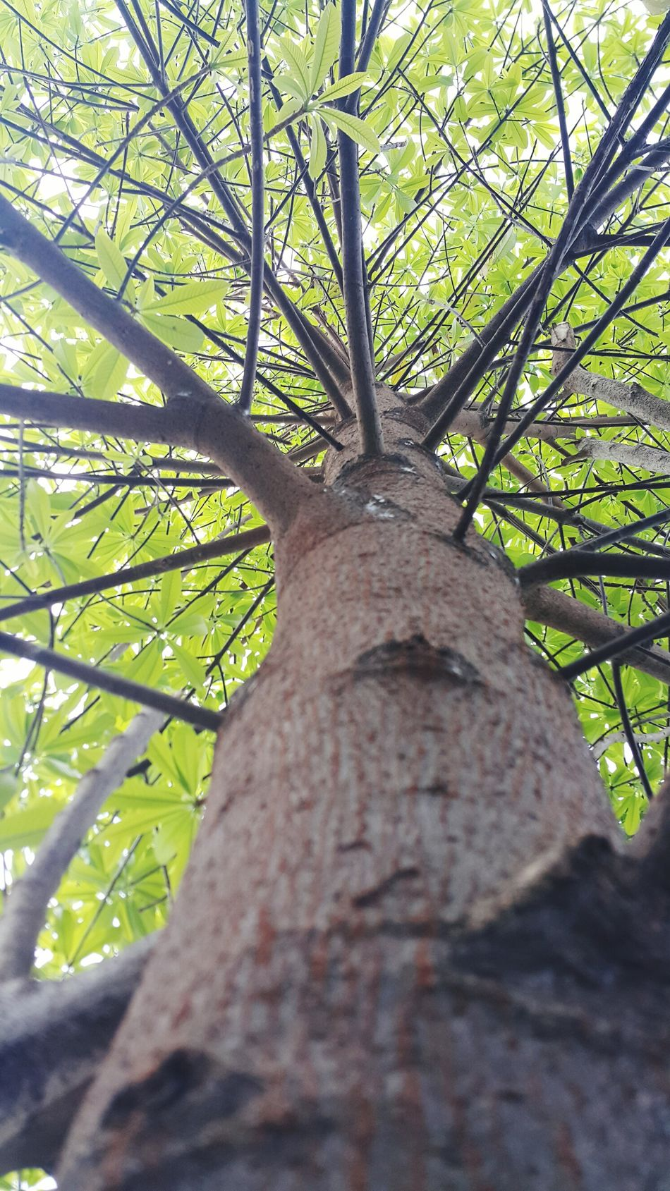 Beautyinnature  Green Color Growth Outdoors Beauty In Nature Day Sky Close-up Nature Low Angle View Tree Tree Trunk Plant Lookup Curve Growth