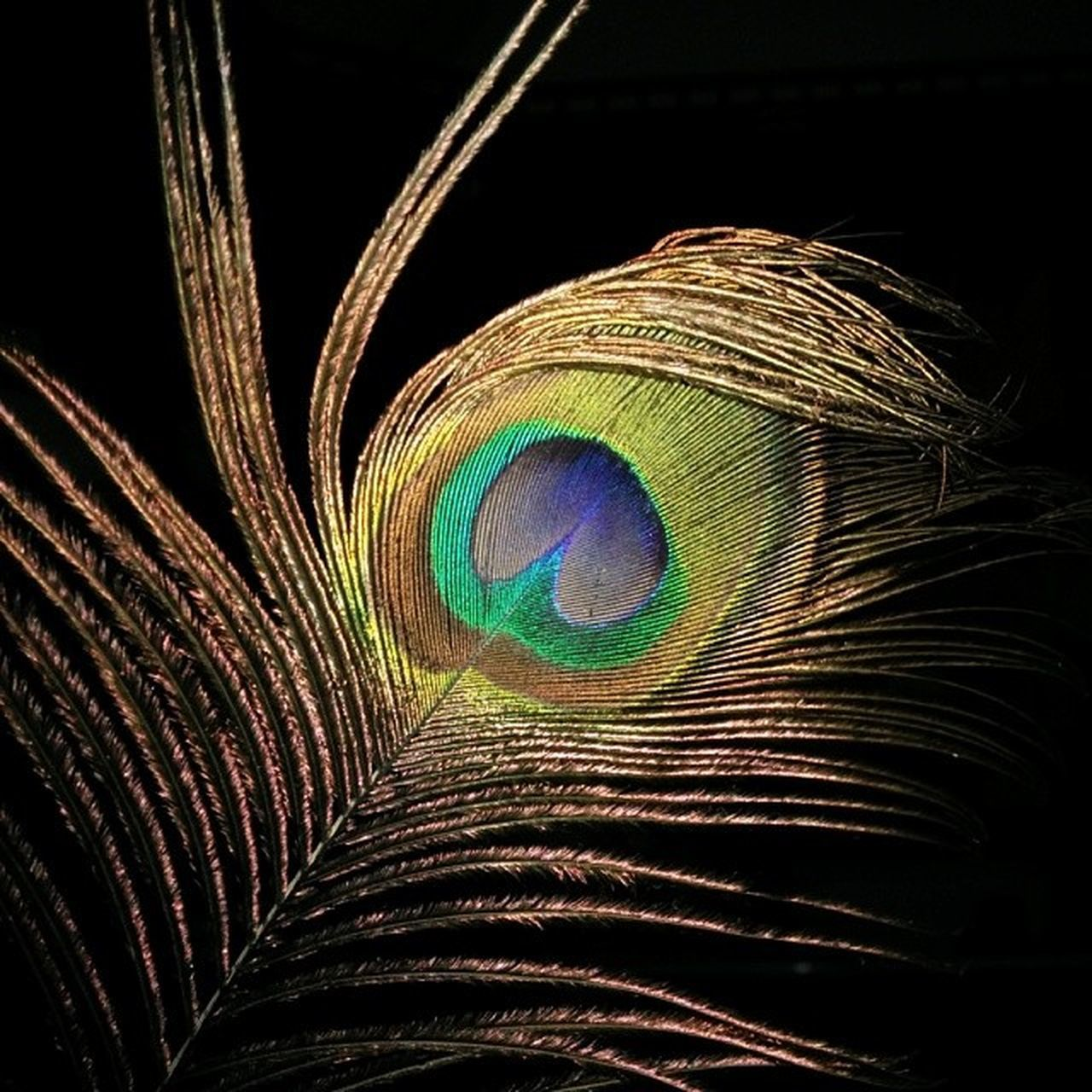 peacock, peacock feather, feather, close-up, no people, black background, studio shot, fragility, multi colored, night, nature, animal themes, indoors, beauty in nature, bird