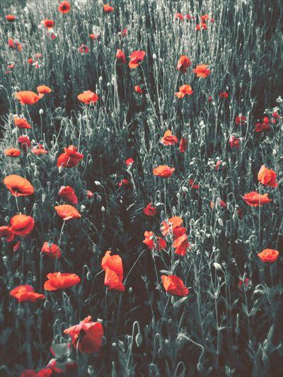 Poppy Flowers Poppy Fields Colorsplash Fine Art Photography Beauty In Nature EyeEm Nature Lover Flowrrs And Plants Flowers,Plants & Garden