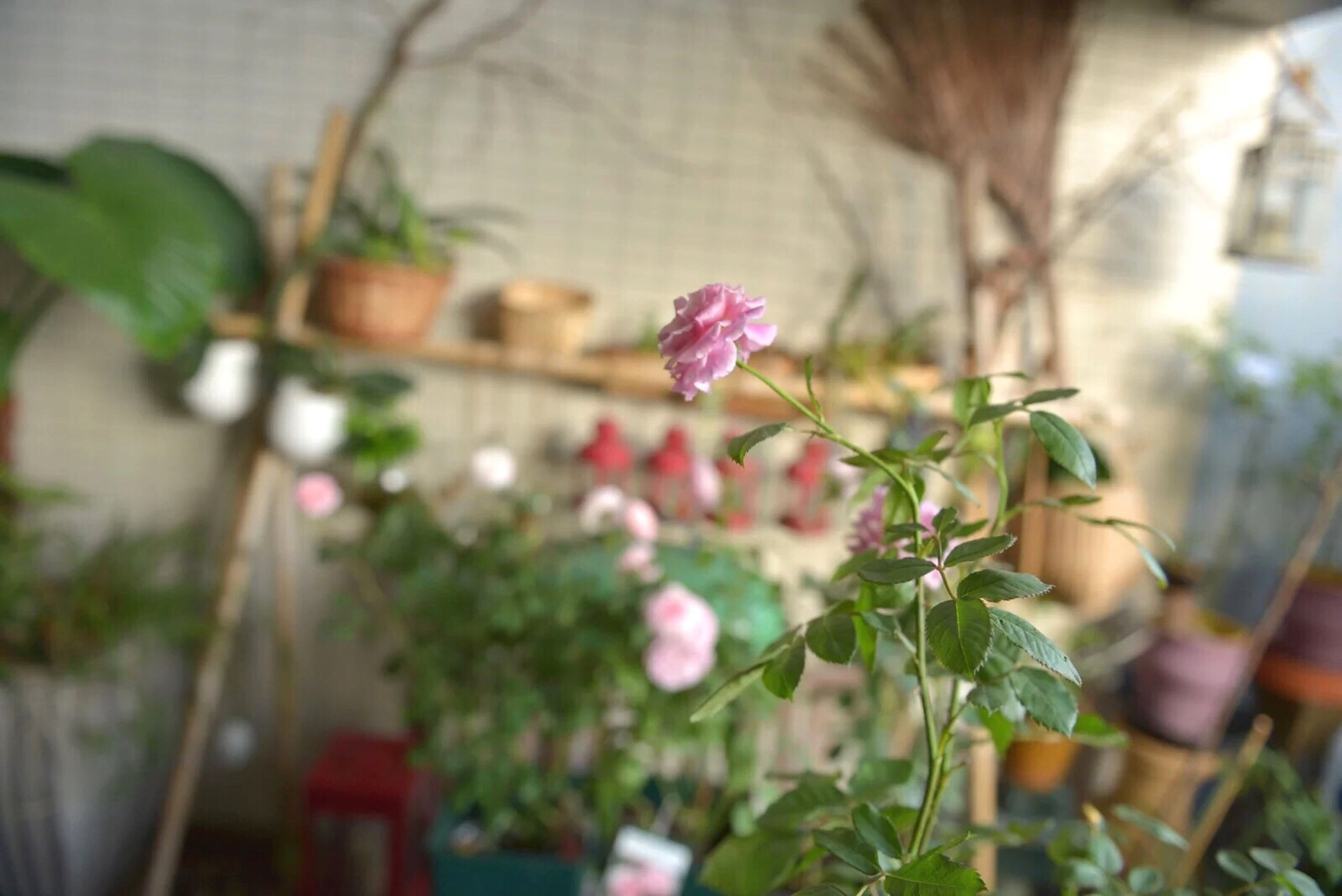 flower, growth, plant, focus on foreground, freshness, fragility, close-up, leaf, stem, nature, selective focus, beauty in nature, potted plant, bud, day, growing, front or back yard, blooming, pink color, building exterior
