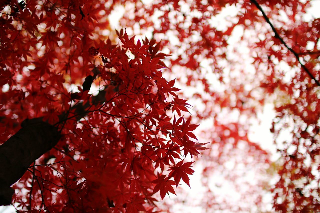 Red Tree Nature Beauty In Nature Autumn Outdoors Low Angle View Autumn Autumn Trees 紅葉 紅葉狩り