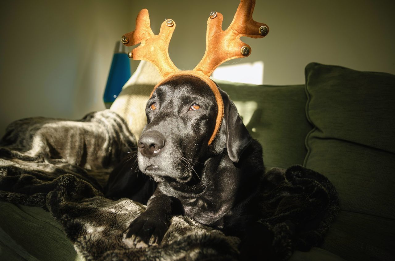 Beautiful stock photos of christmas, Animal Themes, Antler, Black Color, Celebration
