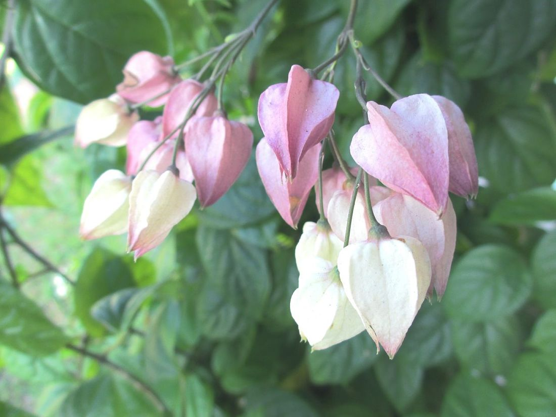 Bleeding heart buds Beauty In Nature Pink Color Flower Fragility No People Close-up Nature Pastel Nature Pastel Flowers Flowering Vines Outdoors Growth Freshness Plant Flower Head Bleeding Heart Flowers Flower Buds Bleedinghearts Day Nature And Beauty Flowers