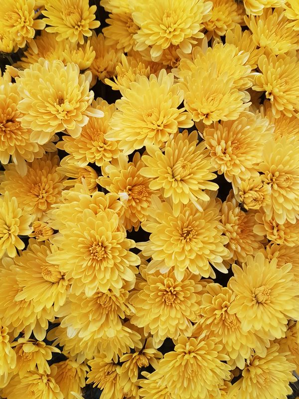Phone Photography Nature Flower Plant Blosssom Samsung Samsung Galaxy S7 Yellow Flower Yellow Yellow Flowers Yellow Color