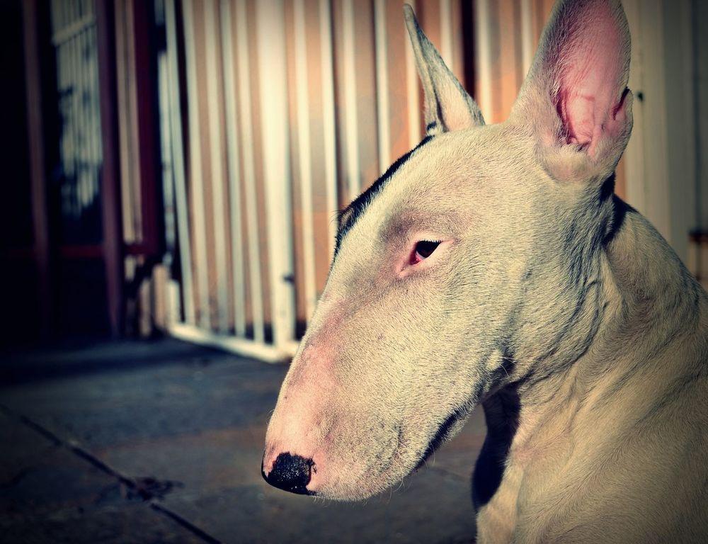 Bullterrier Beauty 💜 Doggy ♥ Love Animals💕 Pointy Ears White First Eyeem Photo