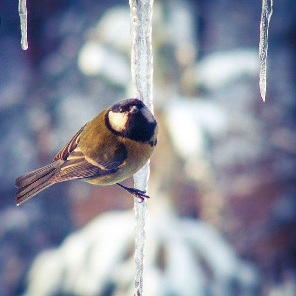 [ hanging on ] °°°°°°°°°°°°°°°°°°°°°°°°°°°°°°°°°°°°°°°°°°°°°°°°°°°° All_shots Animals Amazing Birds Beautiful Depthoffield Dof Exposure Evenwhenitsfreezing Freezing Ig_europe Igers Ig_animals Ig_birds Ig_polska Instanature Instabirds Instanimals Icicles Notiphone Nature Photooftheday Picoftheday Shallowdof Throughthewindow tight wild