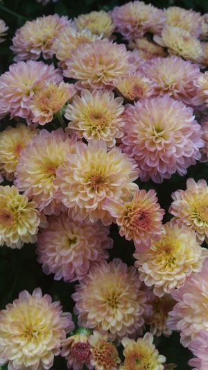 Apricot mums. Apricot Flowers Salmon Colored Mums Mums Flowers Pinkflowers Pink And Yellow Flower Flowers,Plants & Garden Flower Collection Flowers, Nature And Beauty Flower Porn Floral Photography Full Frame Beauty In Nature Abundance Bunch Of Flowers Pink Color Nature Freshness Flower Head Selective Focus Close-up Autumn Flowers Fall Season Fall Flowers Asus Zenfone 2 Laser