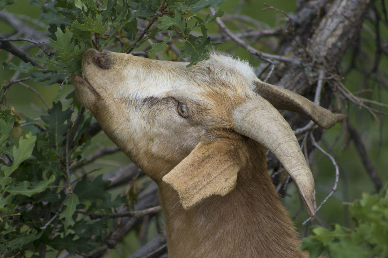Goat Eating Scrub Oak Branch Close-up Day Defensible Space, Fire Protection Goat Goat For Fire Mitig Horns No People No People, One Animal Outdoors Scrub Oak Tree Vegetation Reduction Weed Management Wildfire Preparednes
