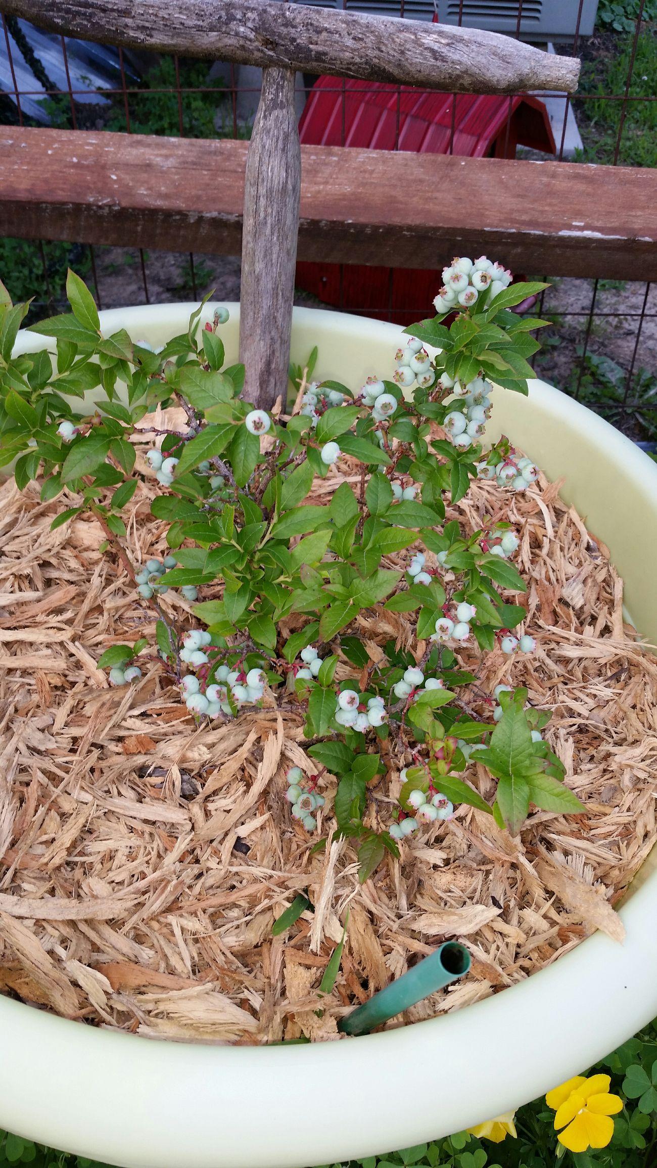 Blueberries Container Gardening Fruit Igrewthis