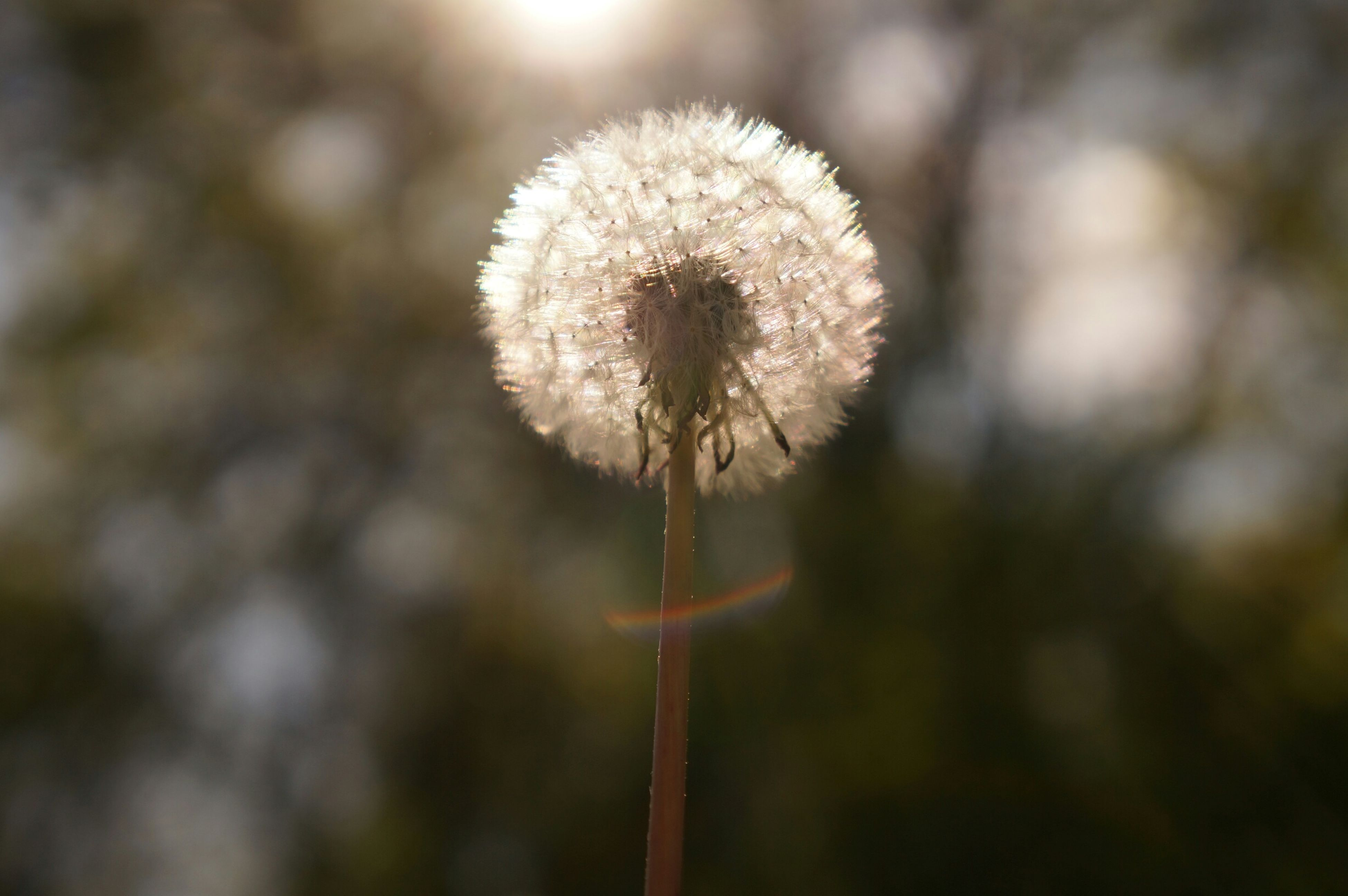 dandelion, flower, fragility, growth, flower head, freshness, focus on foreground, beauty in nature, close-up, nature, stem, single flower, softness, plant, uncultivated, white color, outdoors, wildflower, in bloom, no people