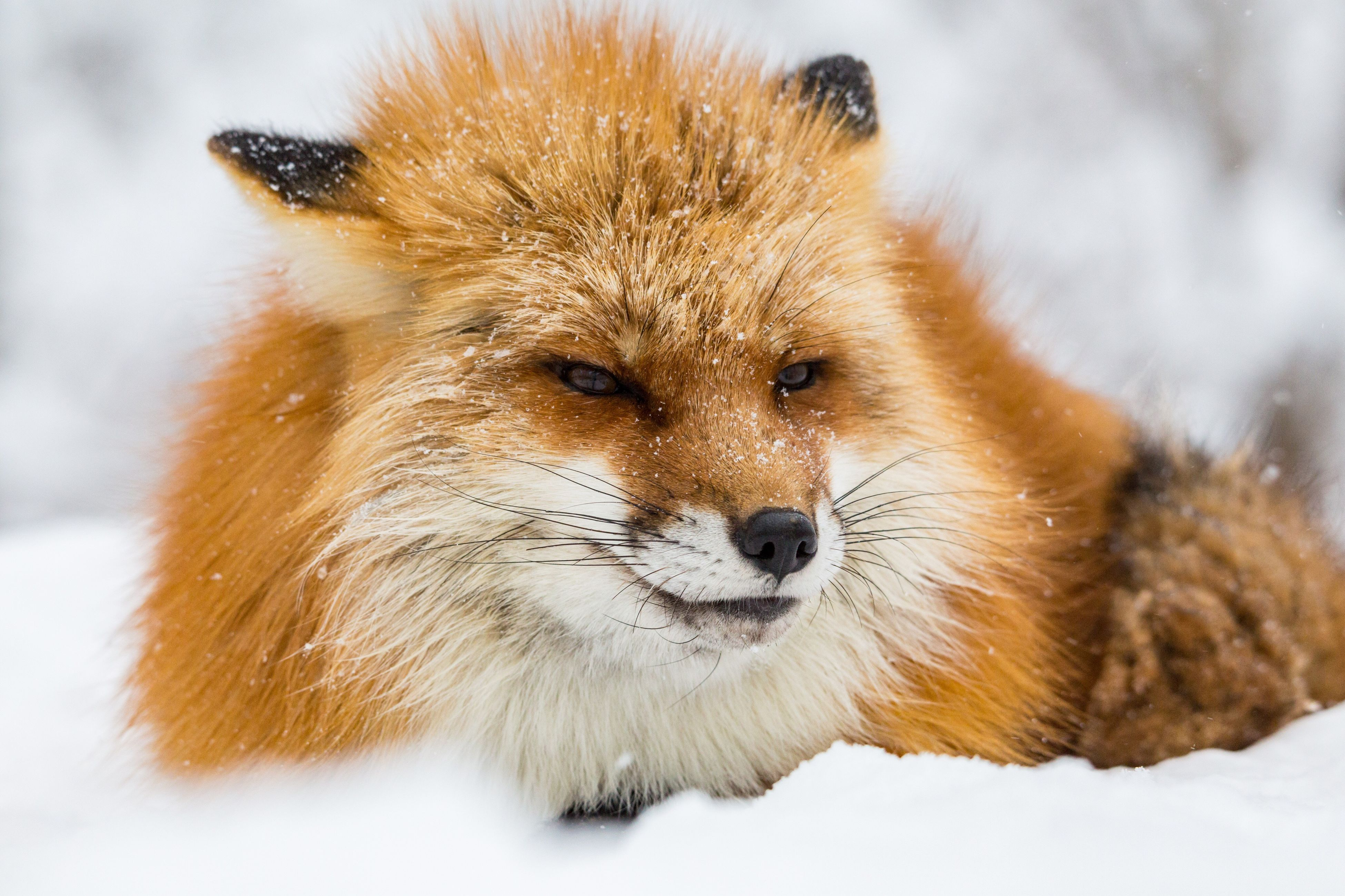 cold temperature, animal wildlife, snow, animal themes, animals in the wild, nature, winter, mammal, one animal, no people, close-up, portrait, outdoors, day, beauty in nature