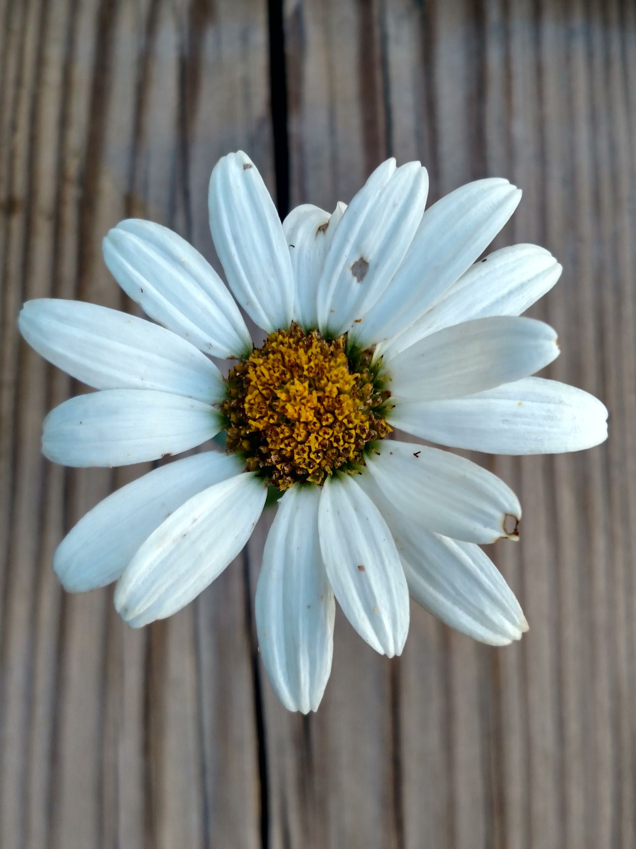 Wood Grain Daisy Daisy Flower Daisy Close Up Daisyporn Artistic Photo Artistic Eye Botany Flower Porn Flower Photography Through My Lens Petal Art Flower Collection From My Point Of View EyeEm Nature Lover Ladyphotographerofthemonth Femalephotographerofthemonth From Where I Stand Daisies Are My Favorite Artistic Expression