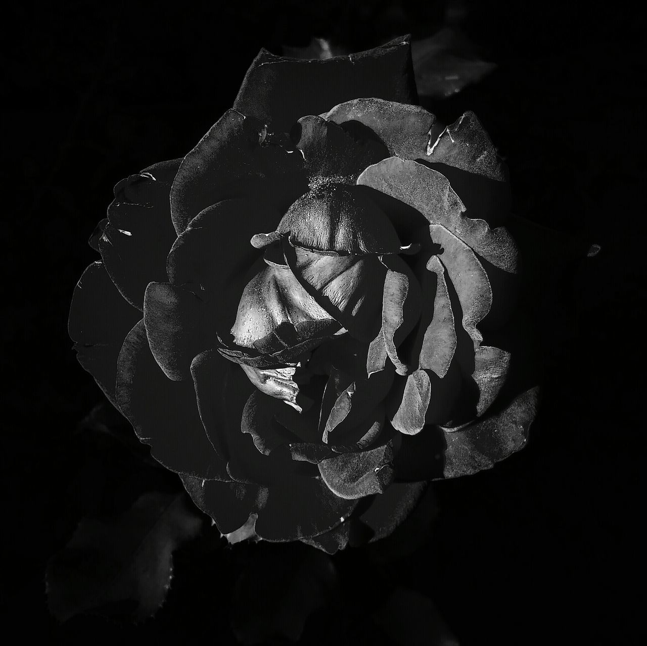 flower, petal, rose - flower, flower head, beauty in nature, nature, fragility, freshness, growth, no people, black background, plant, close-up, blooming, studio shot, night, rose petals, outdoors