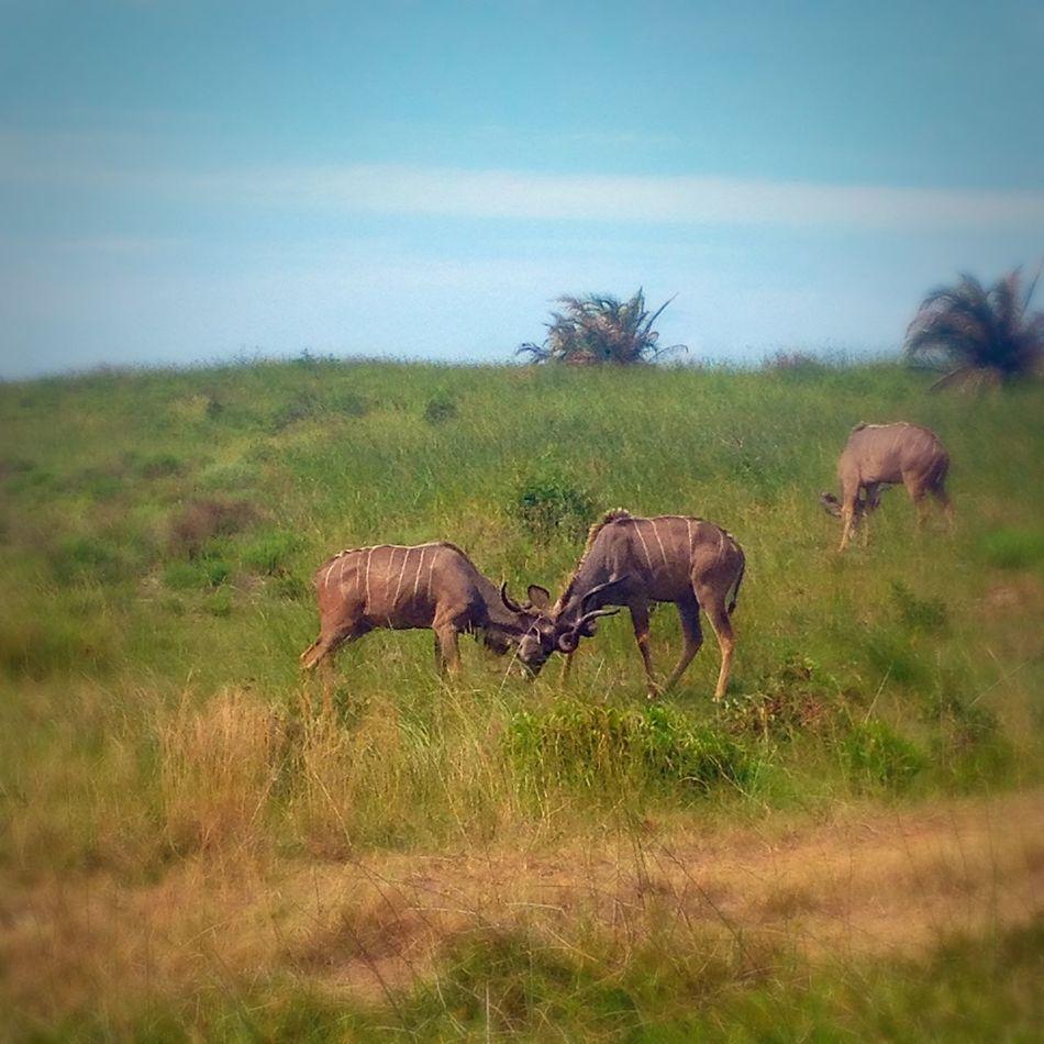 Nature Reserve Wildlife Enjoying Life Kudus Relaxing Saint Lucia Kzn South Africa Taking Photos