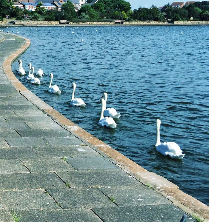 Swans are following (beautiful) Animal Themes Water Lake Swan Wildlife Water Bird No People Swimming