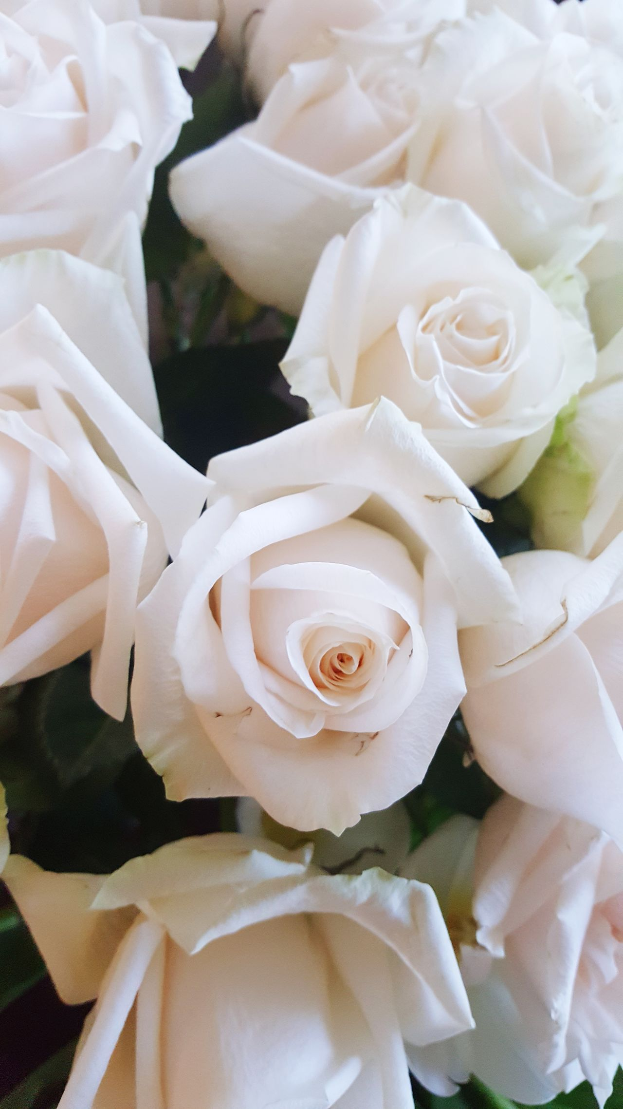 In the language of flowers, White Roses mean both secrecy and innocenceBeauty In Nature Rose - Flower Flower Full Frame No People Indoors  Nature Flower Head Close-up Day Rosé White Languageofflowers Innocence Secret Secrecy White Color White Rose