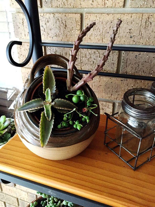My new favourite. Cactus Succulents Starfish Succulent