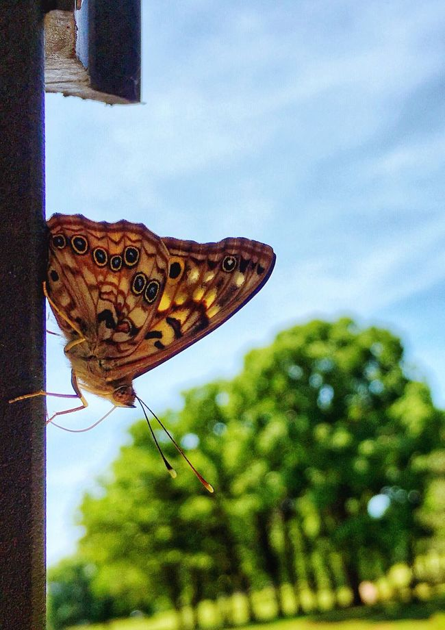 Hitching a ride Painted Lady Butterfly Nature Photography Capture The Moment Enjoying Life Nature_perfection Epic Colors Embracing Nature Modern Day Folk I Can't Golf To Save My Life