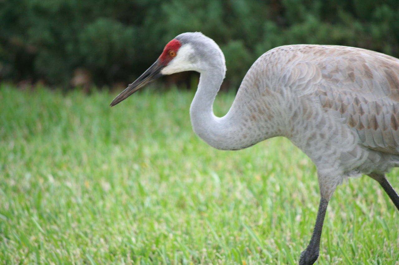 Sandcranes Bird Animals In The Wild Nature Animal Themes One Animal Grass Beauty In Nature Animal Beak Animal Wildlife Outdoors Close-up No People Day