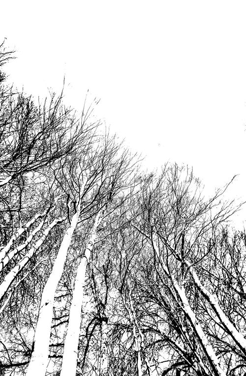 Bare Beech Trees in Winter Bare Tree Beech Tree Black And White Photography Cold Weather No People Portrait Photography Stark Contrast Trees Upward View White Background Winter Trees