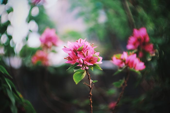 Flower Nature Growth Pink Color Beauty In Nature Plant Close-up No People Fragility Freshness Day Flower Head Outdoors Bokeh Photography Bokeh Bokeheffect Bougainvillea Bougainvillea Flower Leaf Backgrounds Tree Beauty In Nature Branch Plant Bangkok