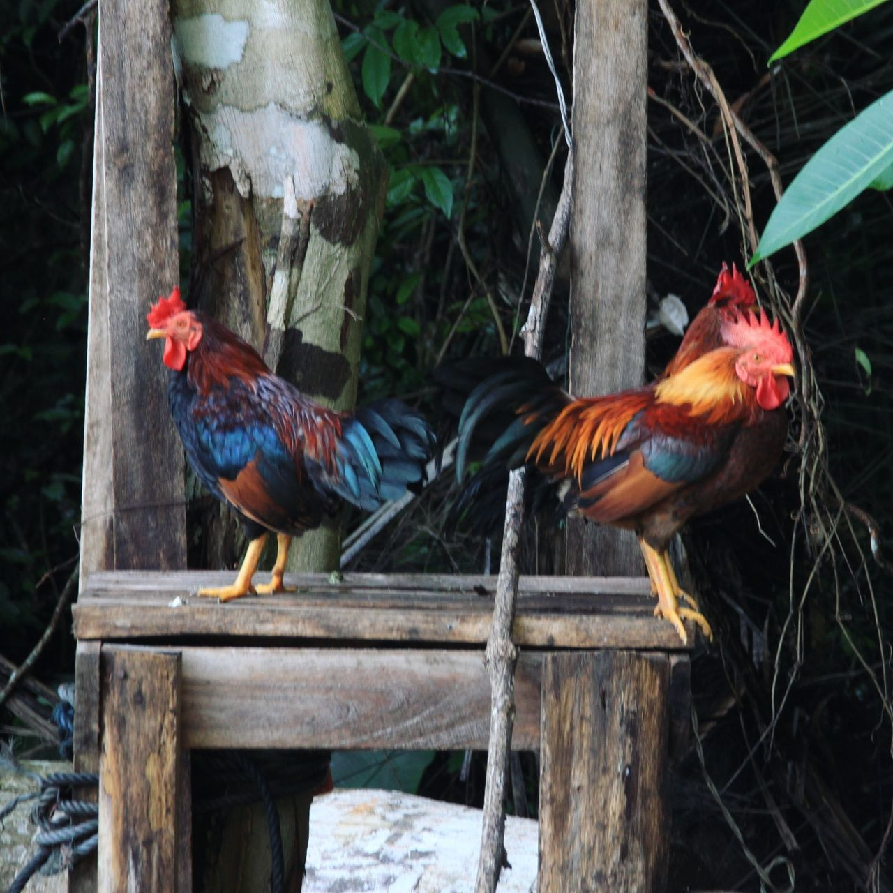 Beautiful stock photos of rooster,  Animal Themes,  Chicken - Bird,  Cockerel,  Day