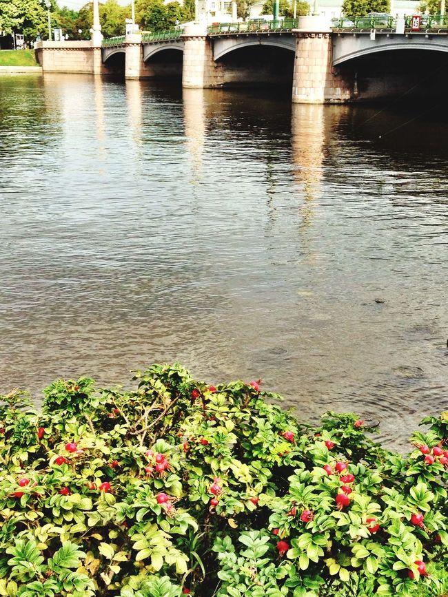 Saint Petersburg Bridges Шиповник у Каменноостров кого моста