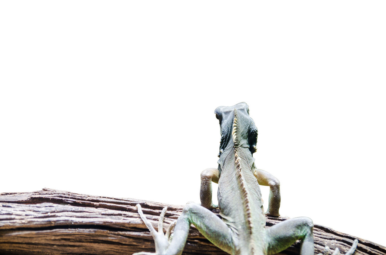 Animal Themes Animal Wildlife Animals In The Wild Chameleon Close-up Day Iguana Lizard Nature No People One Animal Outdoors Reptile
