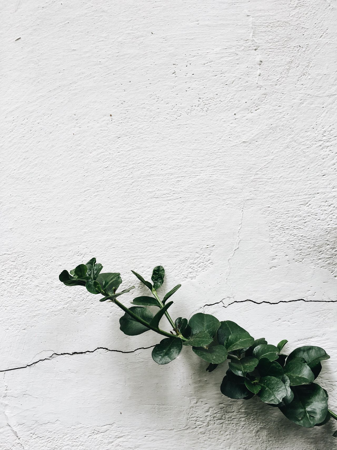 Wall - Building Feature Plant Leaf White Color Green Color No People Ivy Growth Nature Whitewashed Flower Fragility Basil Freshness Beauty In Nature EyeEm Nature Lover Botanical Gardens Greenhouse Nature Plant