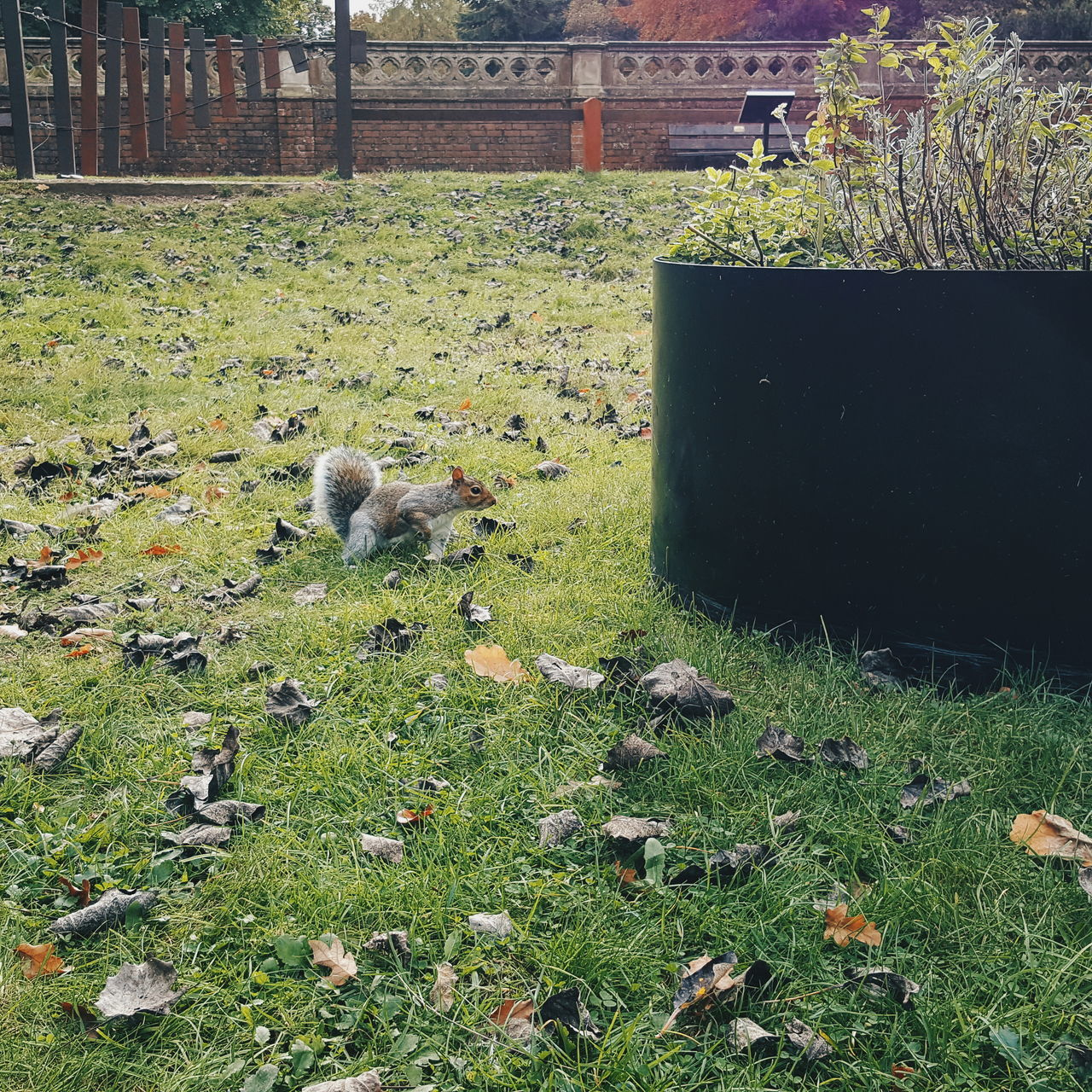 Squizzle. Nature Grass Outdoors No People Day Beauty In Nature Squirrel Grey Squirrel Animal Autumn VSCO VSCO Cam Samsungphotography Samsung Galaxy S6 Lincolnshire