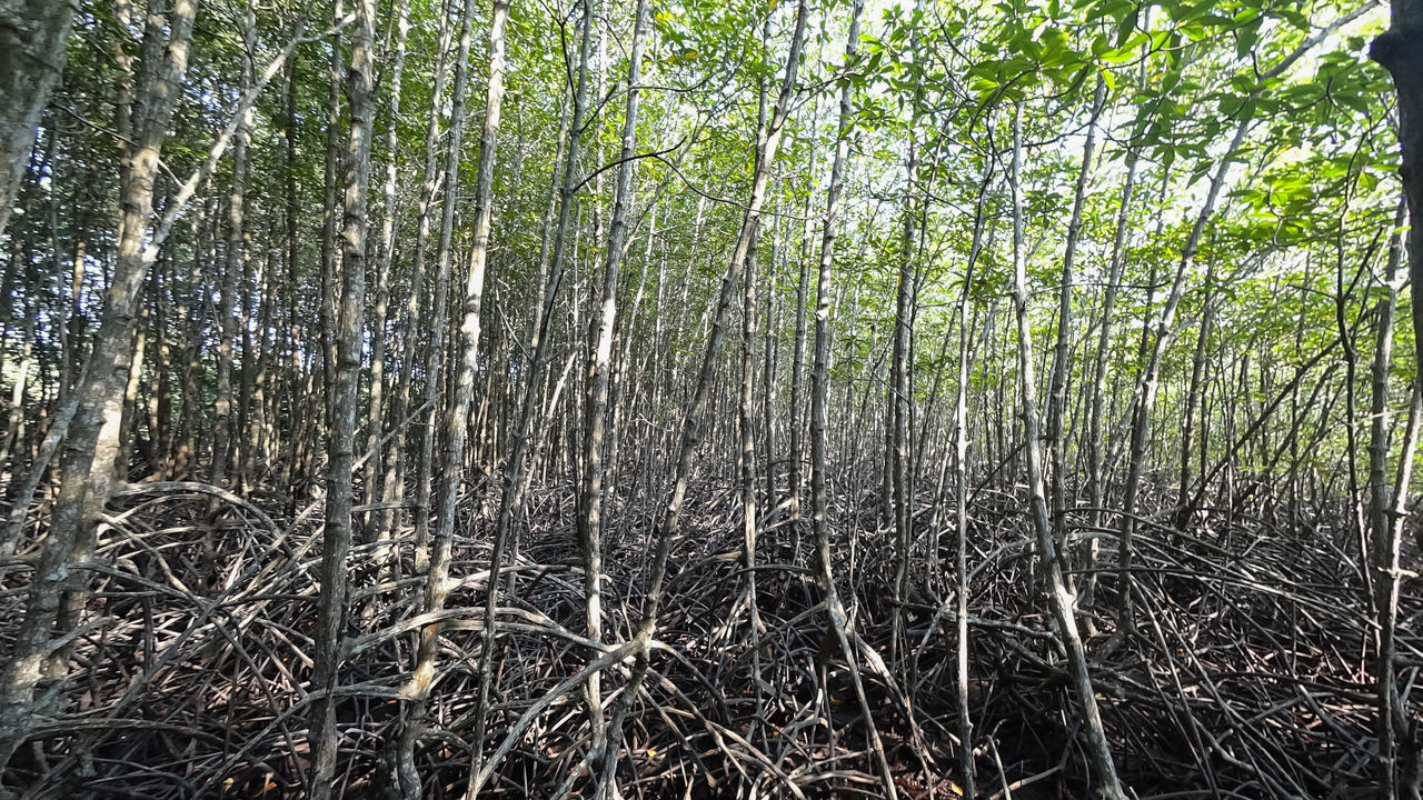 forest, nature, tranquility, tree, tree trunk, outdoors, beauty in nature, day, no people, tranquil scene, bamboo - plant, scenics, growth, grass, bamboo grove, branch