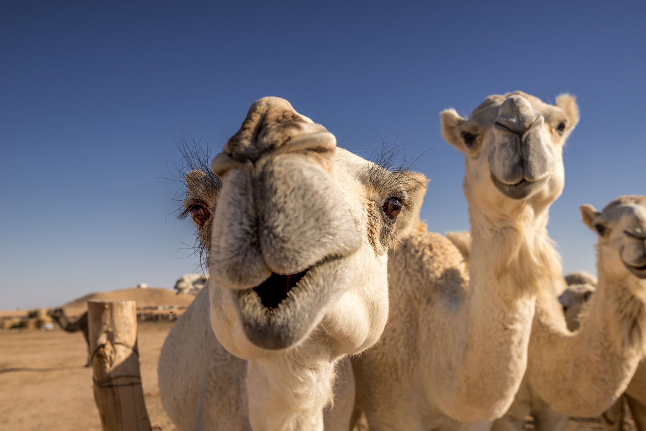 Beautiful stock photos of desert, Beauty In Nature, Camel, Clear Sky, Close-Up