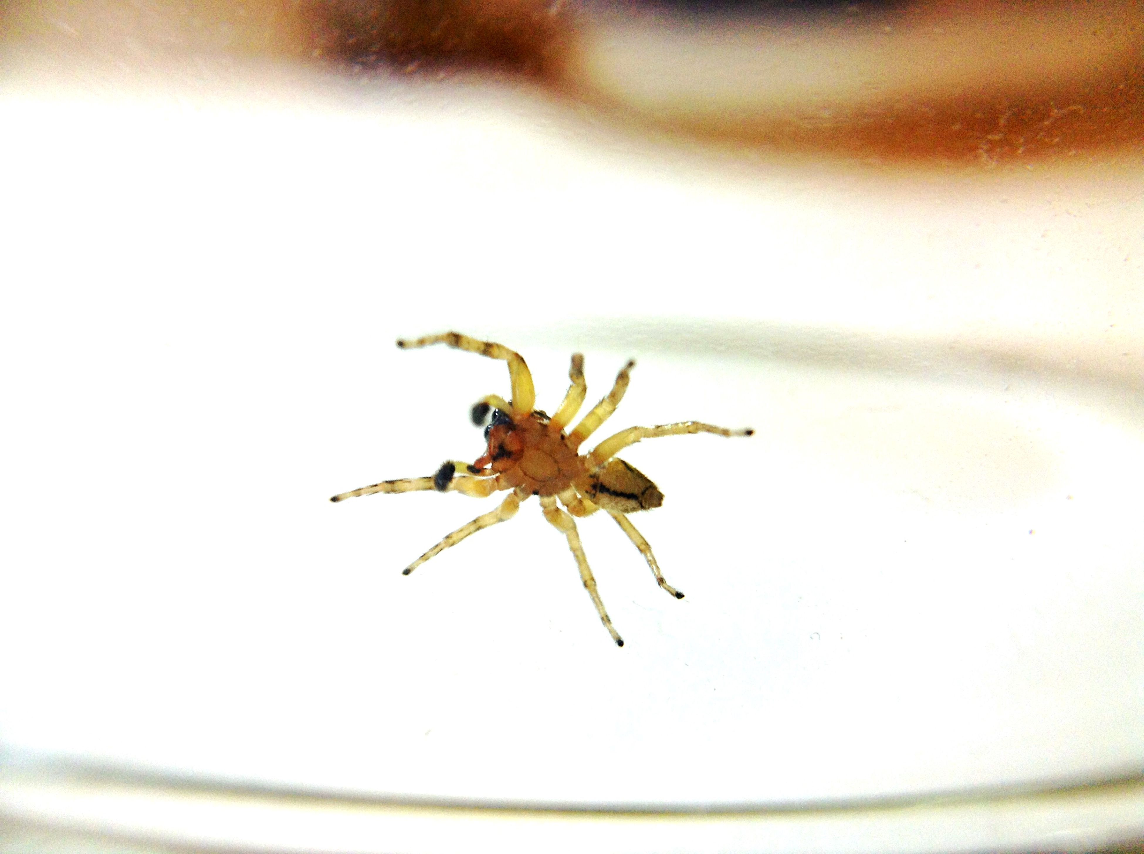 indoors, close-up, selective focus, insect, focus on foreground, still life, table, no people, studio shot, white color, spider, animal themes, dry, creativity, high angle view, single object, ideas, nature, wall - building feature, day