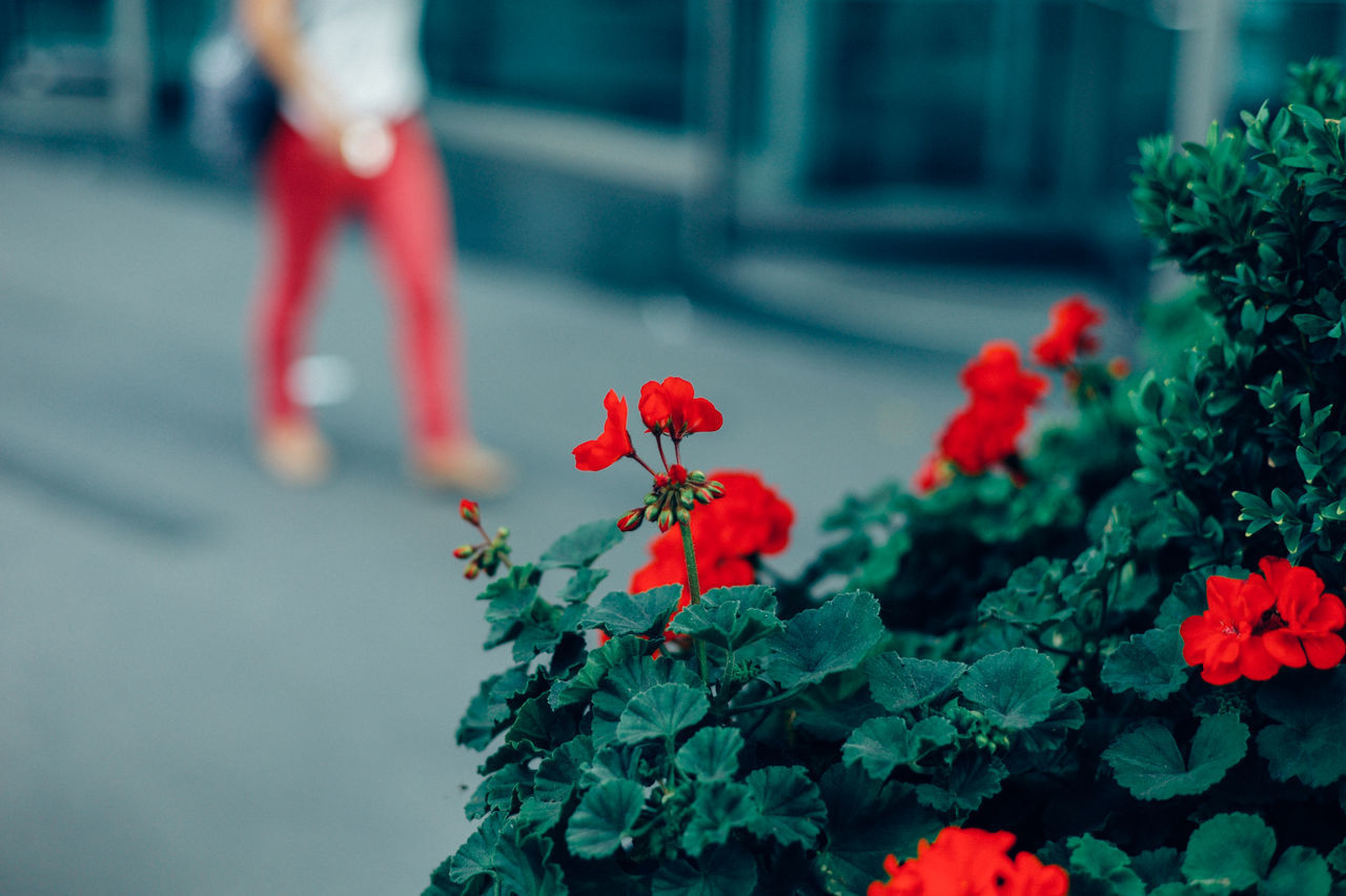 Beautiful stock photos of red, Beauty In Nature, Day, Flower, Freshness