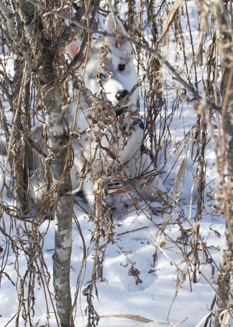 Sneaky little pup. :) Beauty In Nature Close-up Cold Temperature Day Husky Husky Puppy Husky ♡ Ice Low Angle View Minnesota Minnesota Nature Mn Nature Outdoors Puppy Siberian Husky Snow Weather White Color Winter