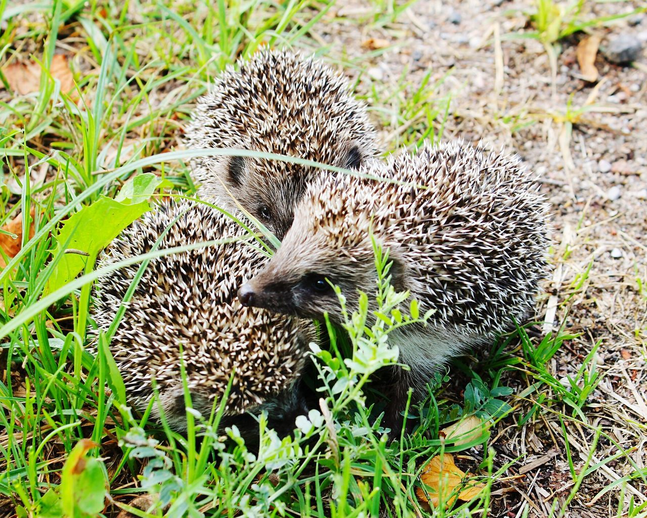 Hedgehogs On The Road Hedgehogs Baby Hedgehog Close-up No People Outdoors Animals In The Wild Sunlight Animal Themes Nature Photography Green Color Beauty In Nature Day