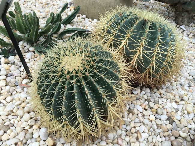 Beauty In Nature Belle Isle Cactus Growth High Angle View Nature Plant Tranquility