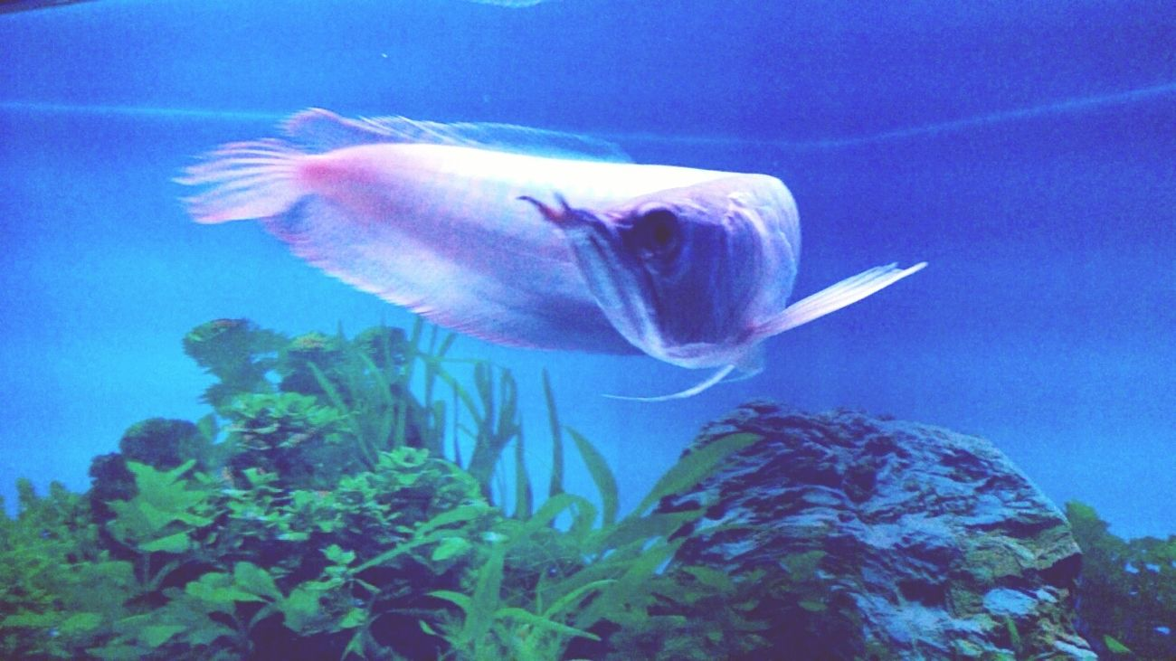 Arowana Showoffyourtail Pet Petfish Monsterfish 🐟😋